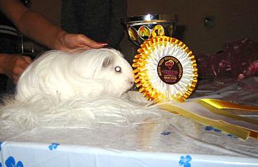 Наградная розетка на выставку морских свинок
