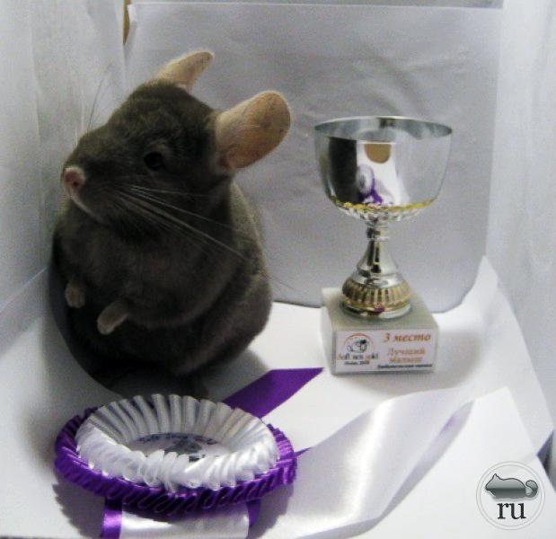 Наградная розетка на выставку шиншилл